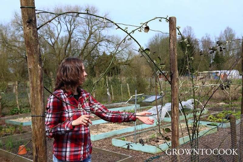 tying in blackberries