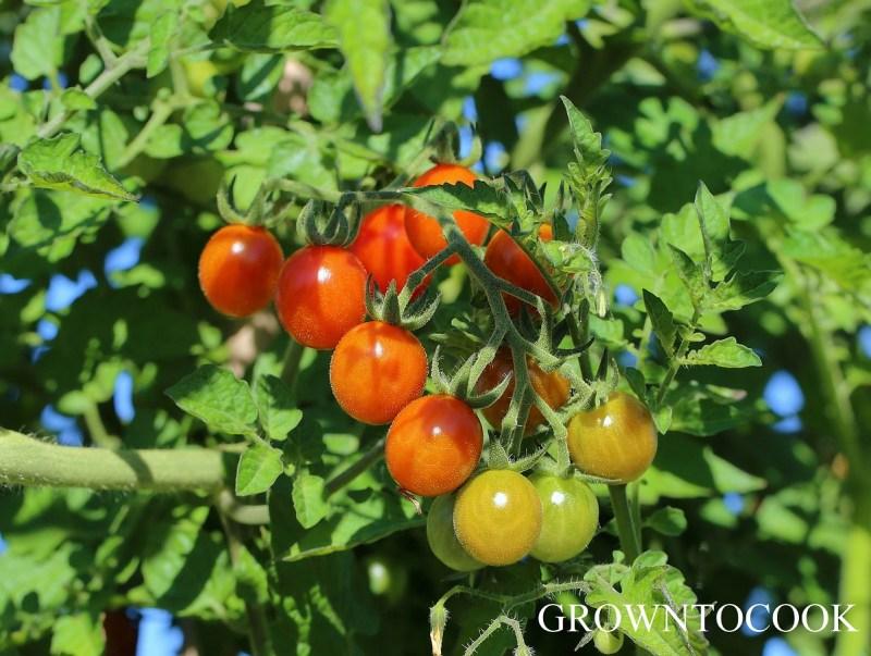 tomato 'Matt's Wild Cherry'