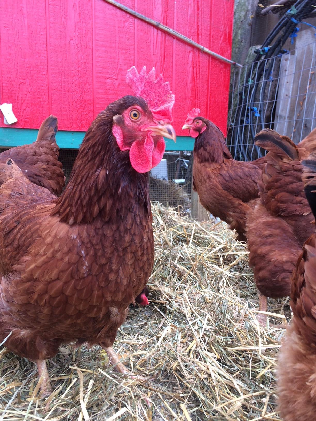Urban Chicken Keeping