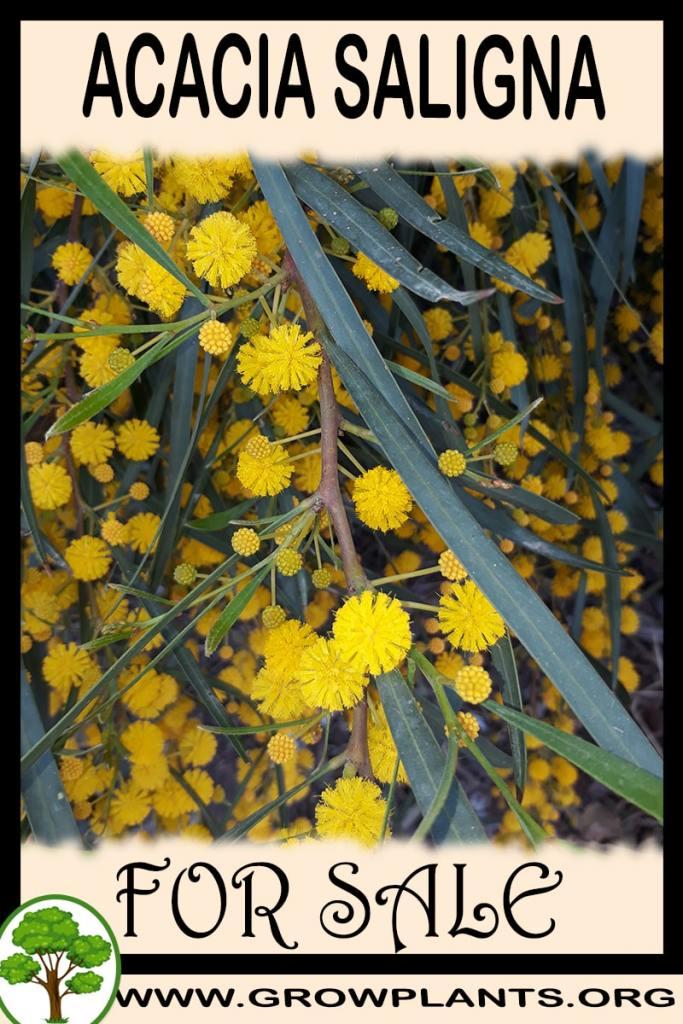Acacia saligna for sale