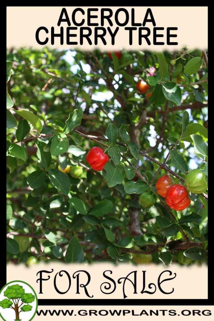 Acerola cherry tree for sale