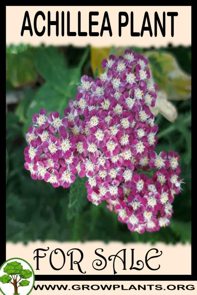 Achillea plants for sale