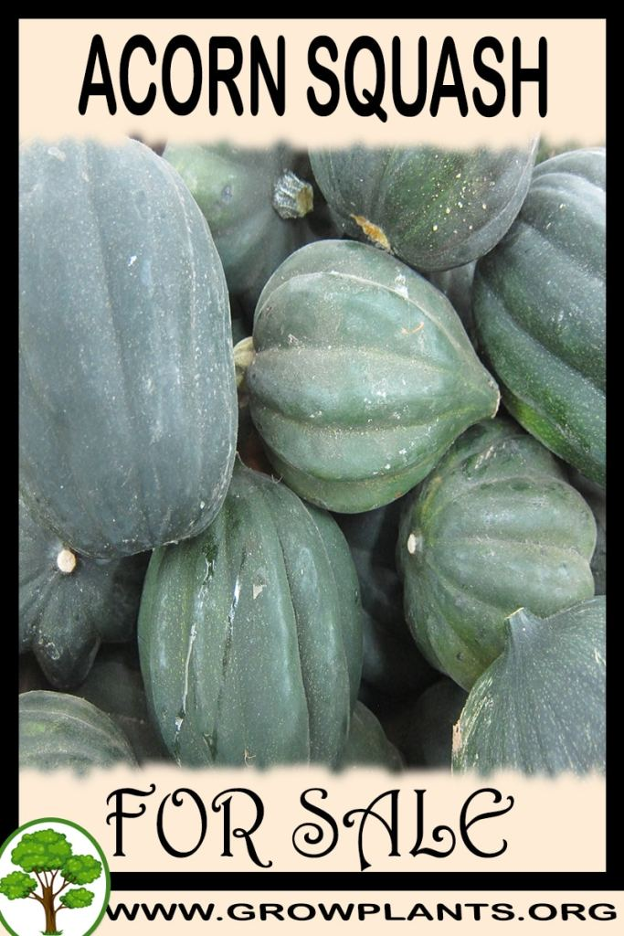 Acorn squash seeds for sale