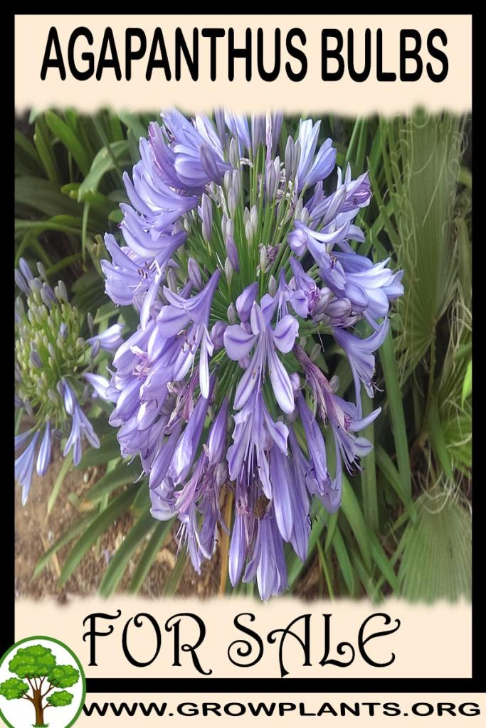 Agapanthus bulbs for sale