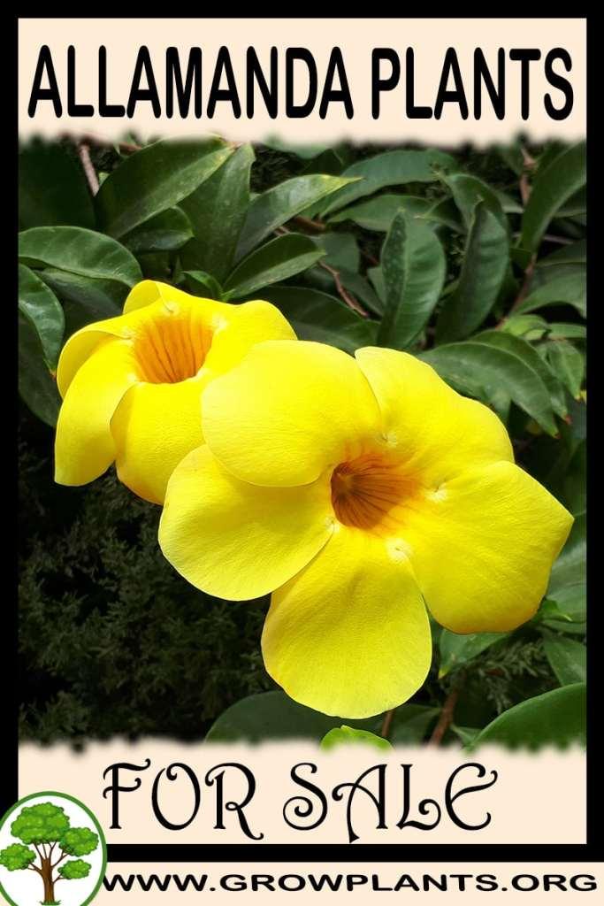 Allamanda plants for sale
