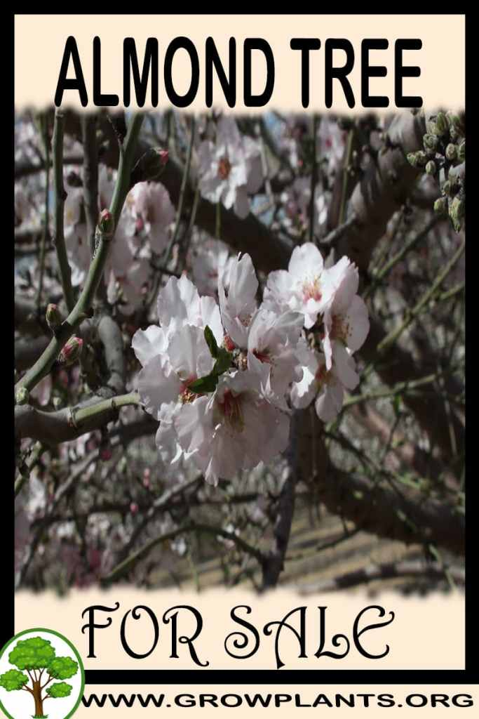 Almond tree for sale