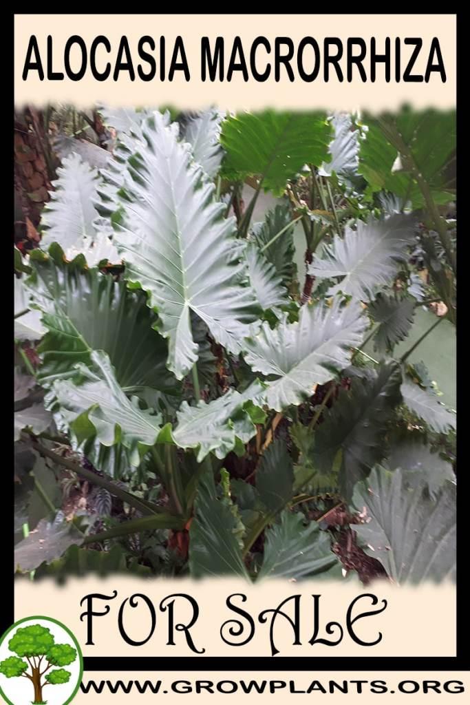 Alocasia macrorrhiza for sale