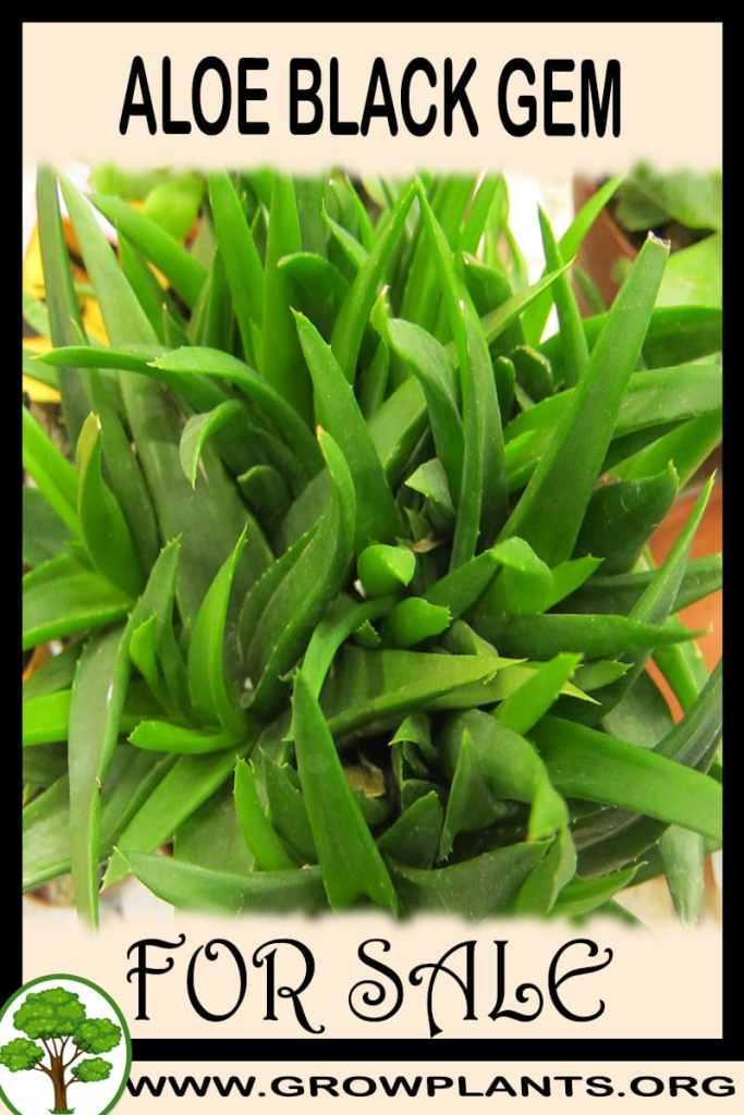 Aloe black gem for sale