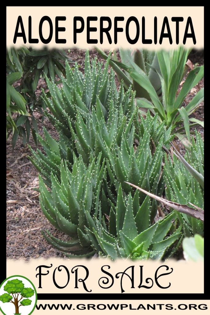Aloe perfoliata for sale
