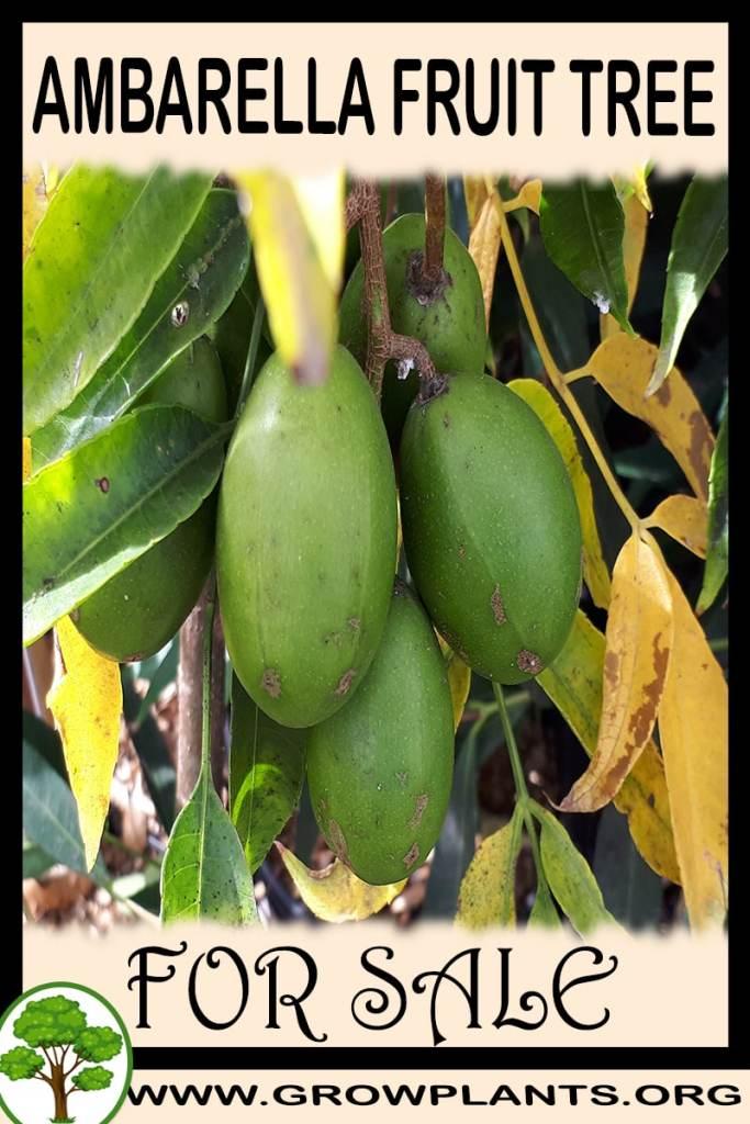 Ambarella fruit tree for sale
