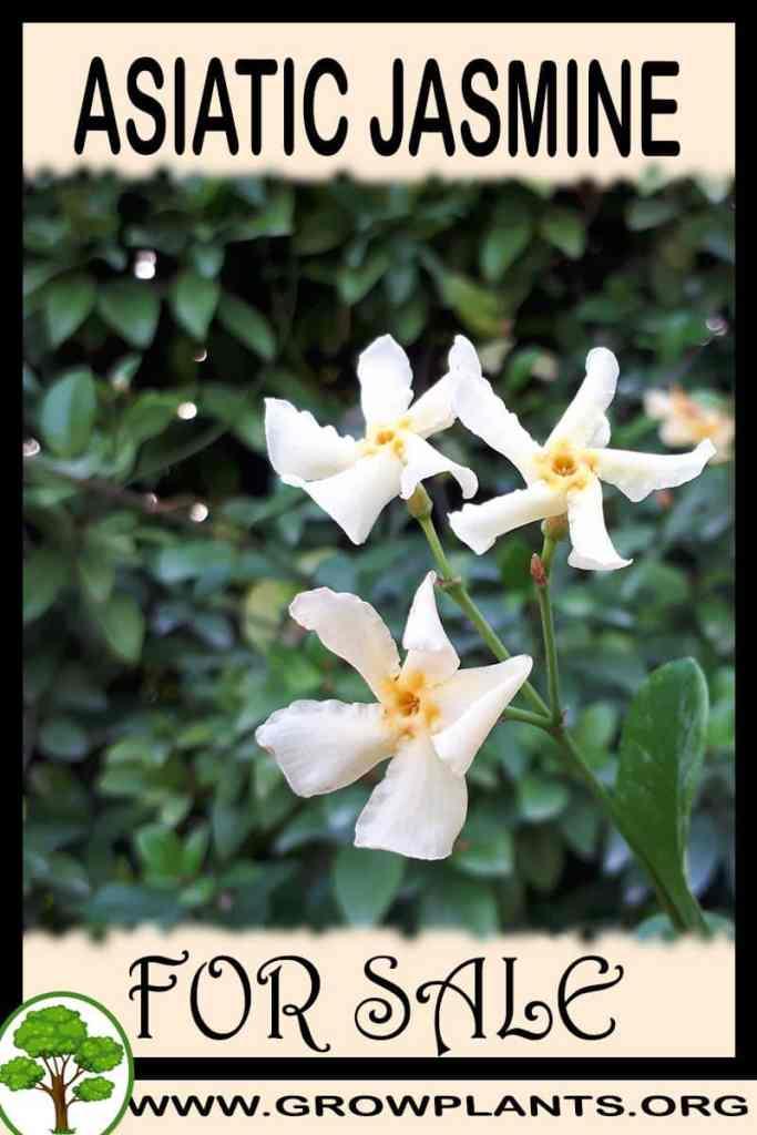 Asiatic jasmine for sale