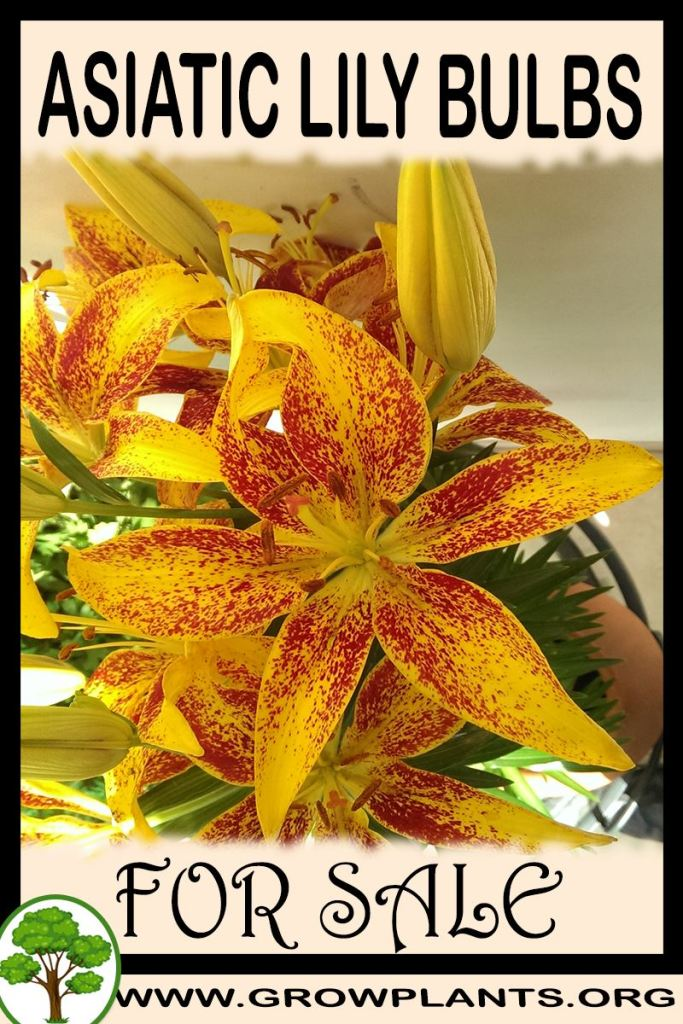 Asiatic lily bulbs for sale