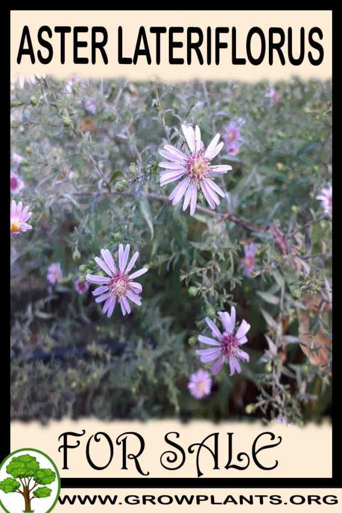 Aster lateriflorus for sale