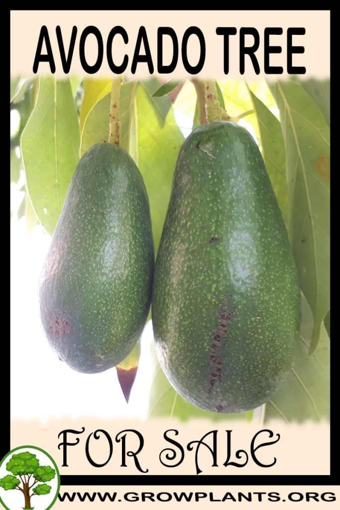 Avocado tree for sale