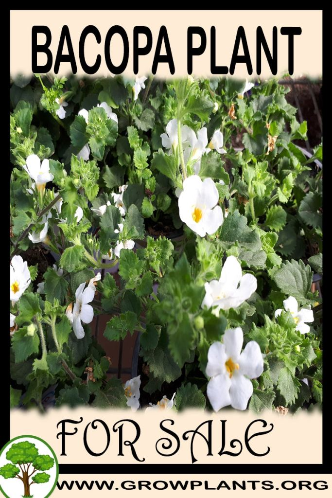 Bacopa plant for sale