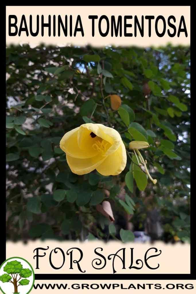 Bauhinia tomentosa for sale