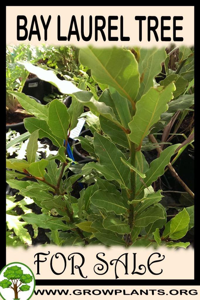 Bay laurel tree for sale
