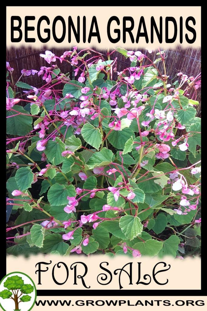 Begonia grandis for sale