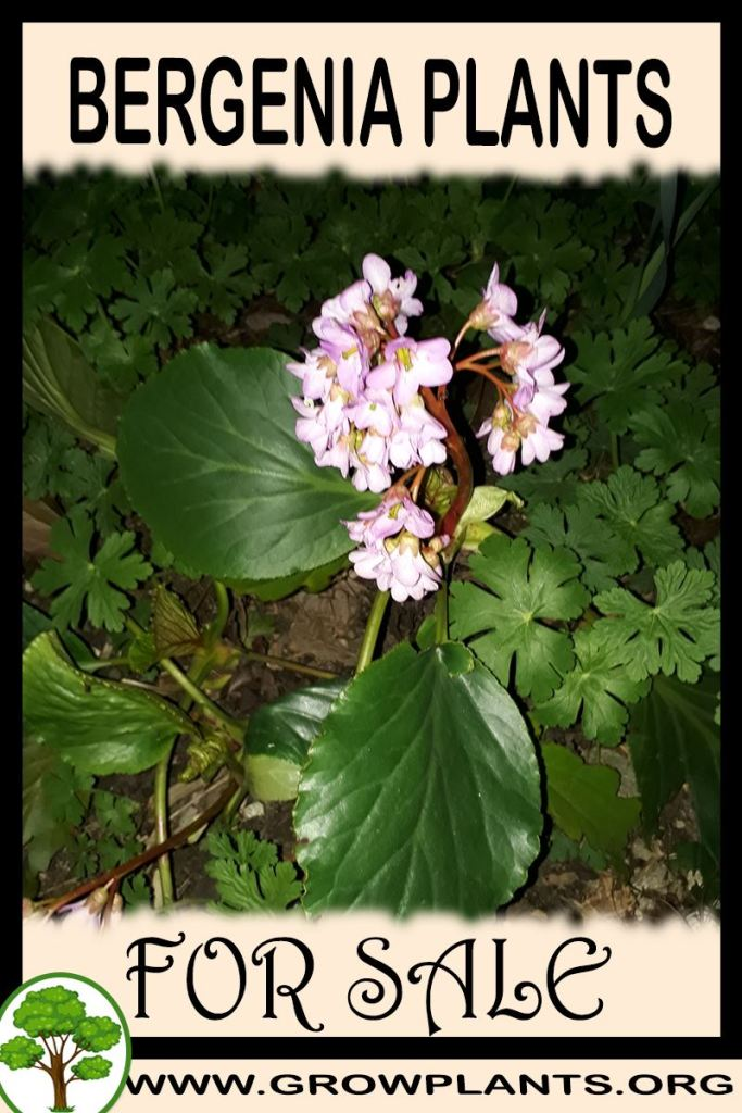 Bergenia plants for sale