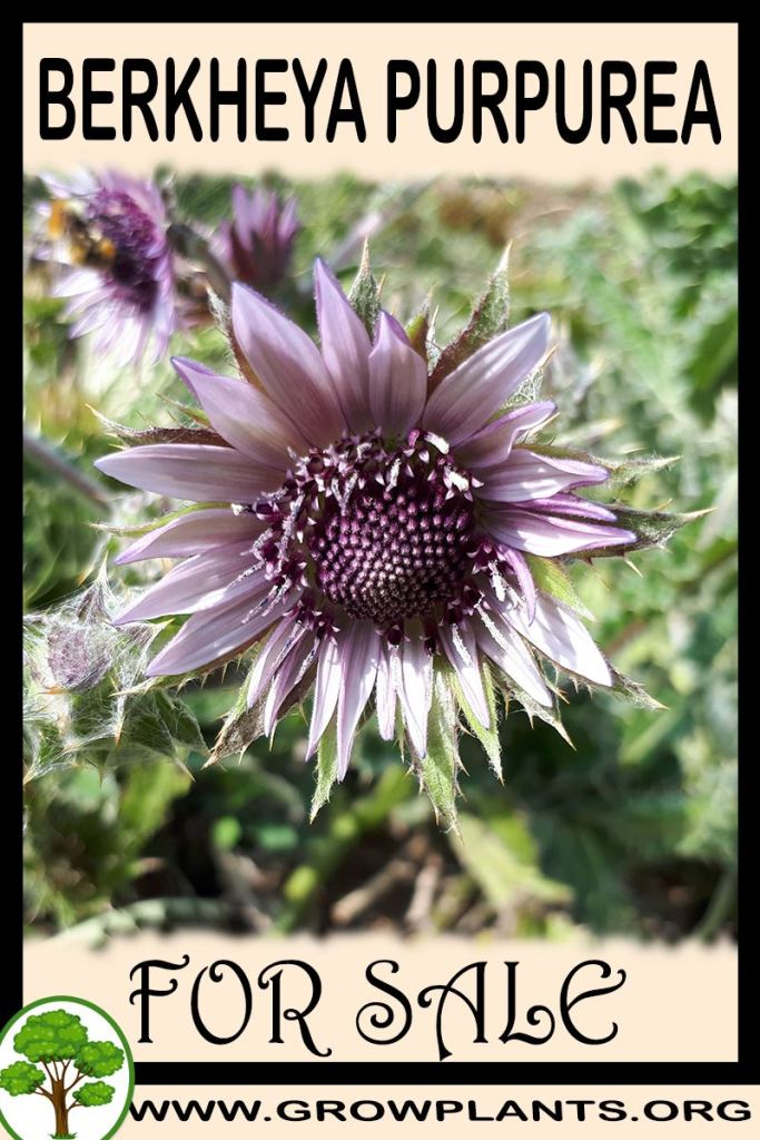 Berkheya purpurea for sale