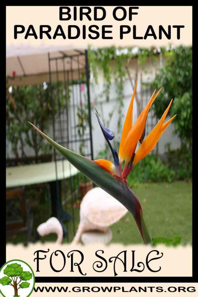 Bird of paradise plant for sale