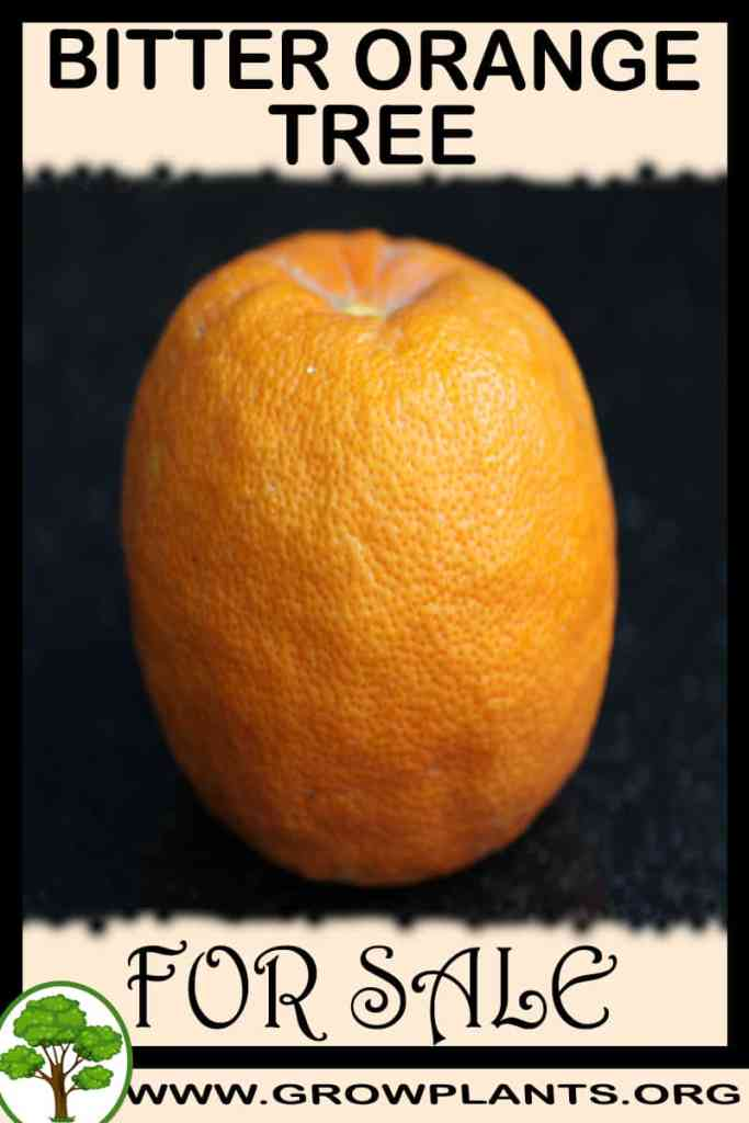 Bitter orange tree for sale