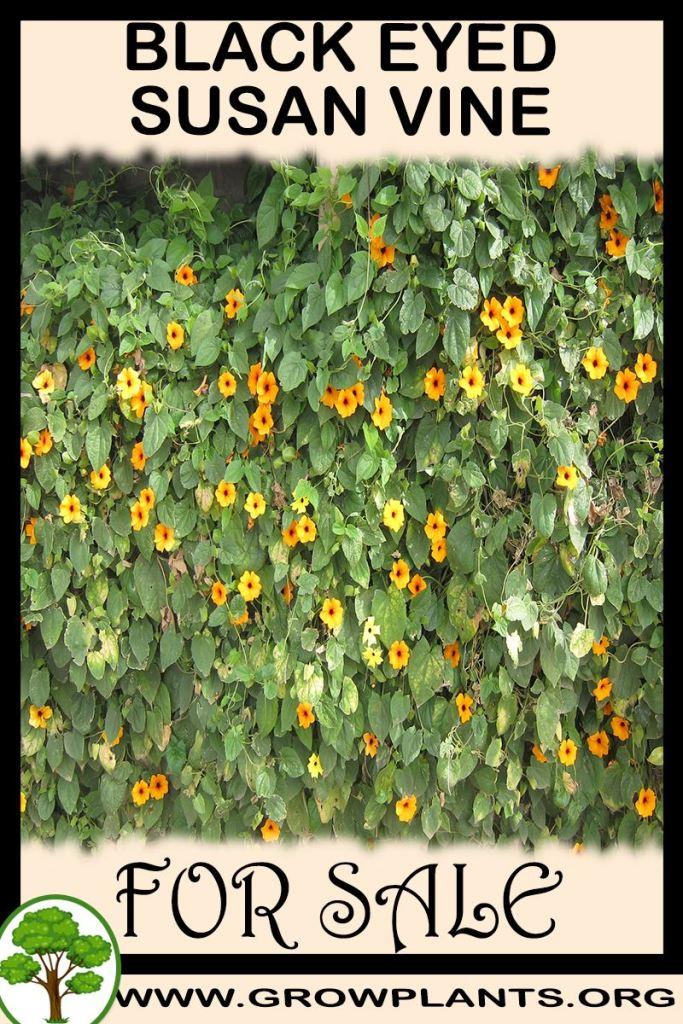 Black eyed susan vine plants for sale