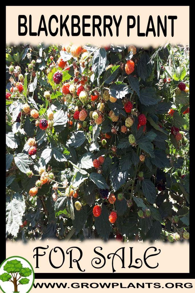 Blackberry plant for sale