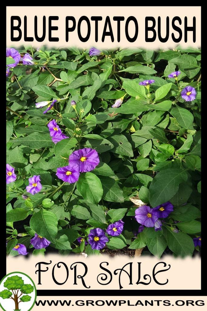 Blue potato bush for sale