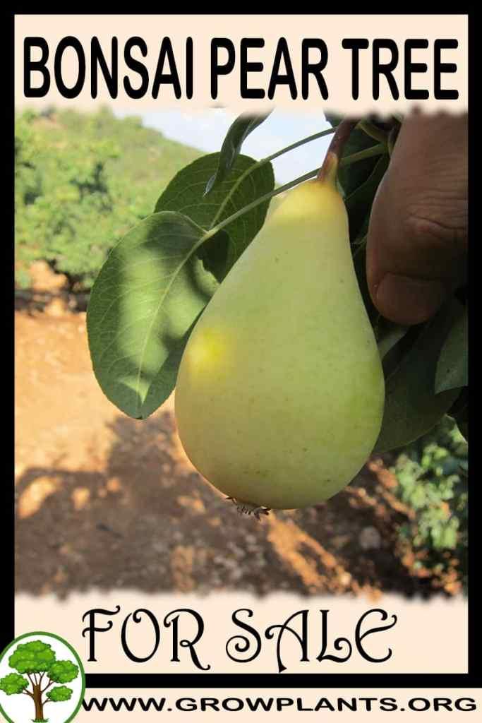 Bonsai Pear tree for sale