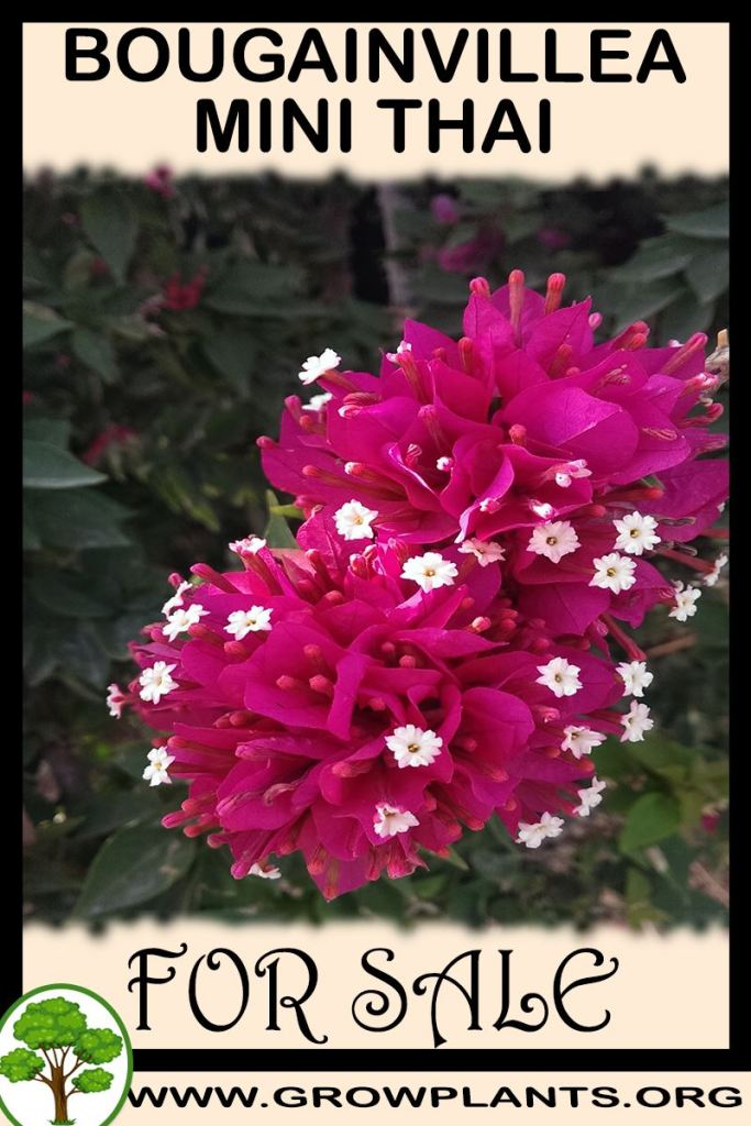 Bougainvillea mini thai for sale