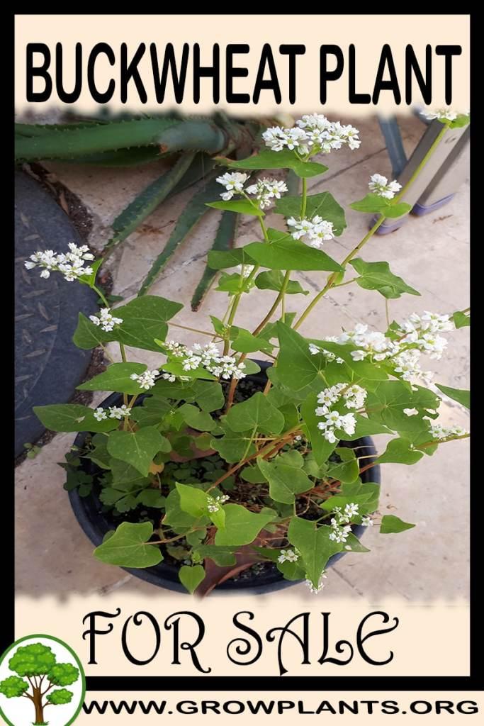 Buckwheat plant for sale