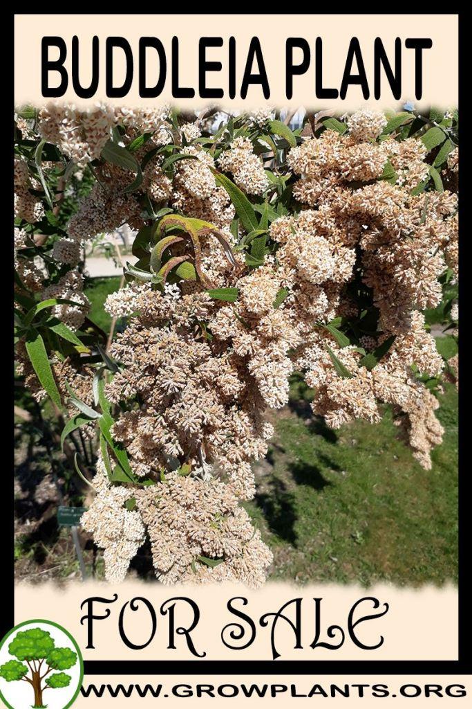 Buddleia plant for sale