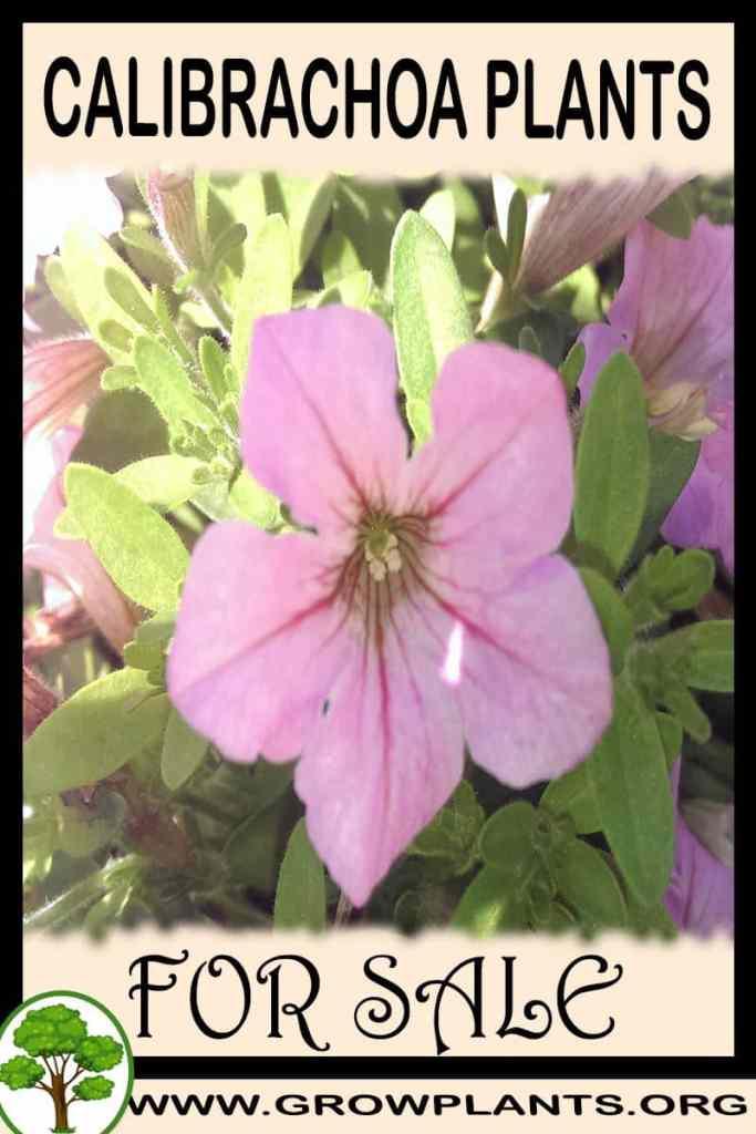 Calibrachoa plants for sale