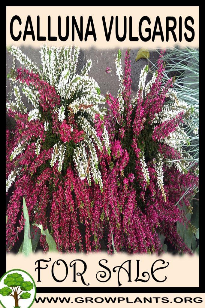 Calluna vulgaris for sale