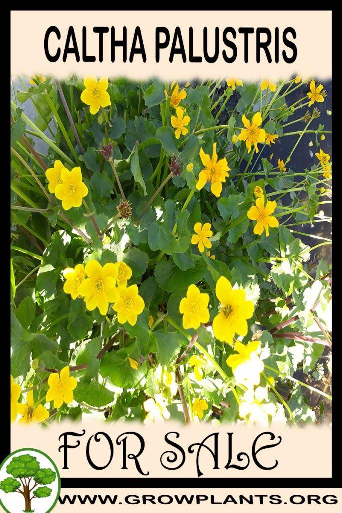 Caltha palustris for sale