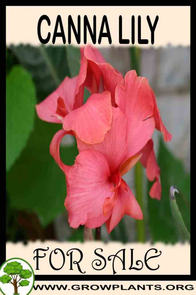 Canna lily for sale