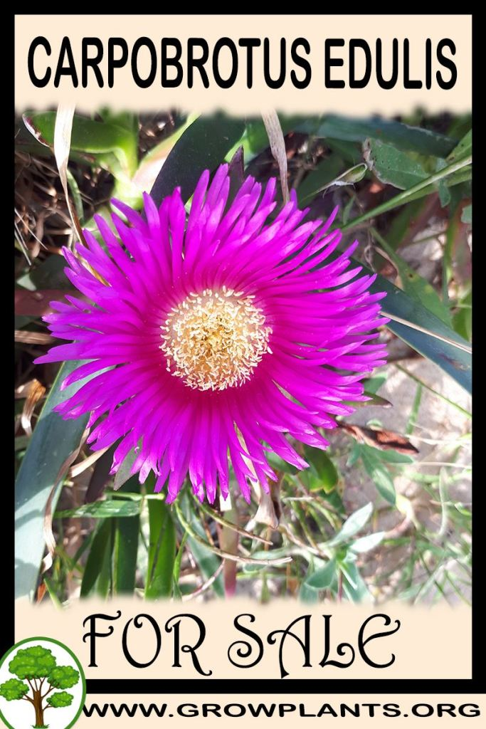 Carpobrotus edulis for sale