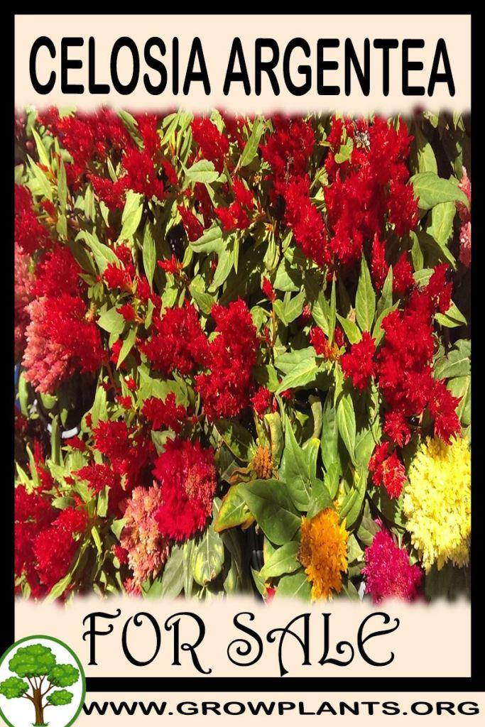 Celosia argentea for sale