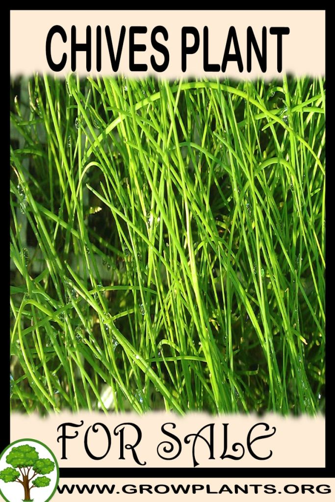 Chives for sale