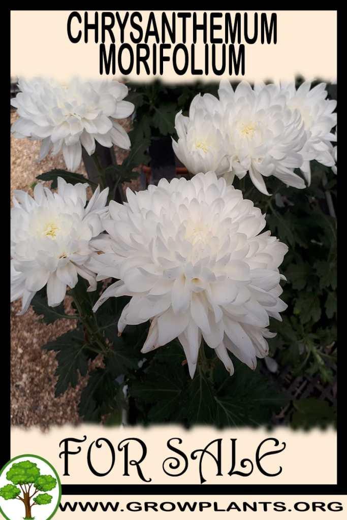 Chrysanthemum morifolium for sale