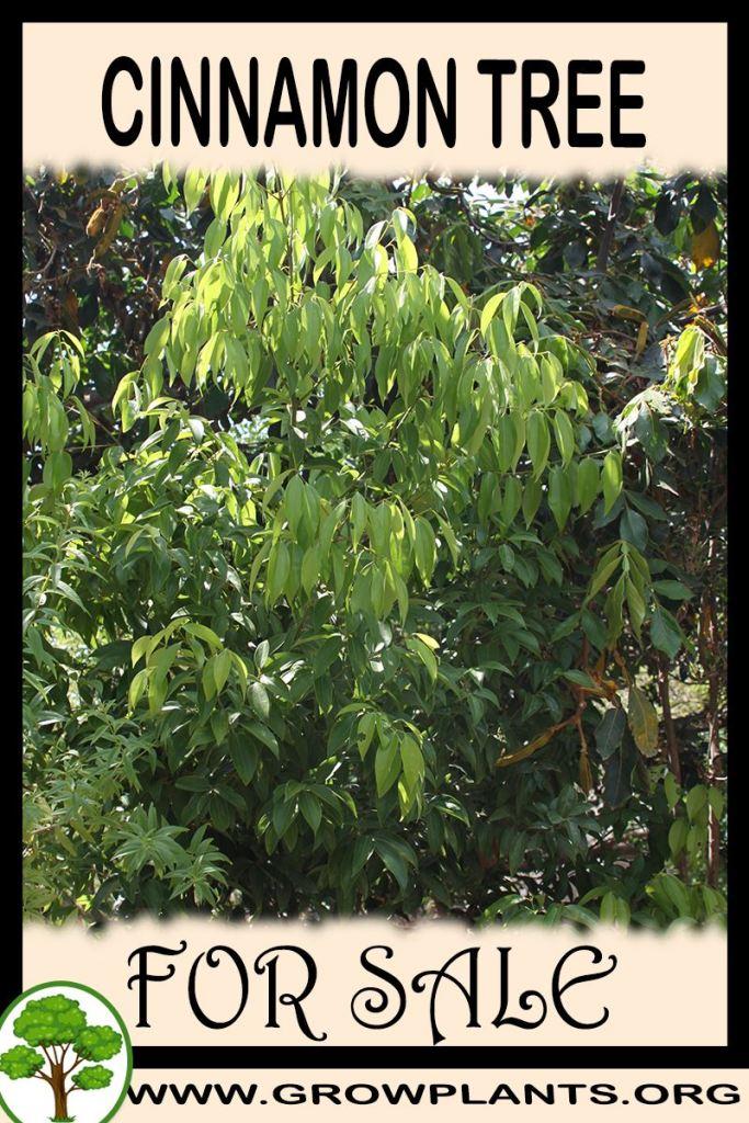 Cinnamon tree for sale