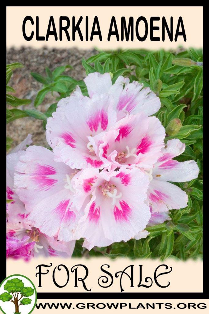Clarkia amoena for sale