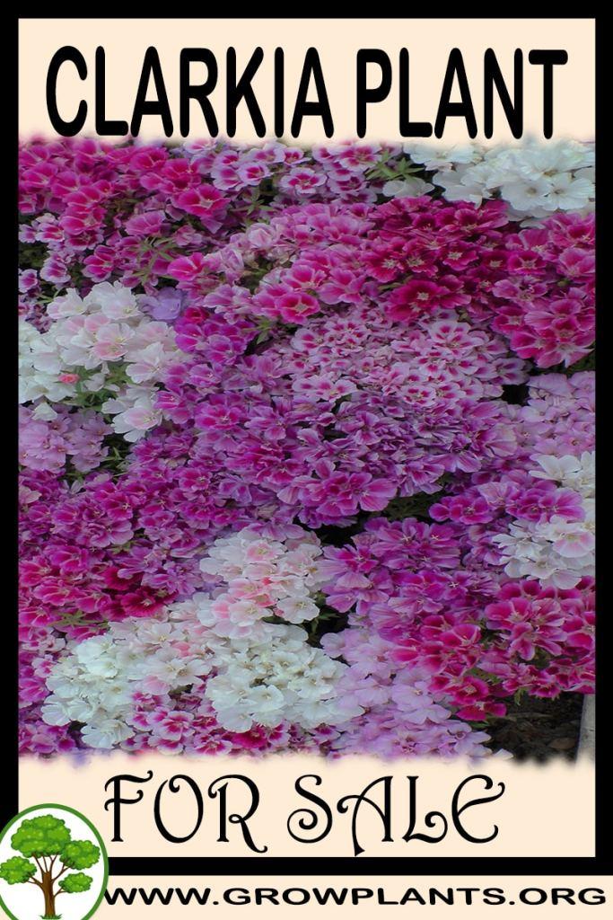 Clarkia plantfor sale