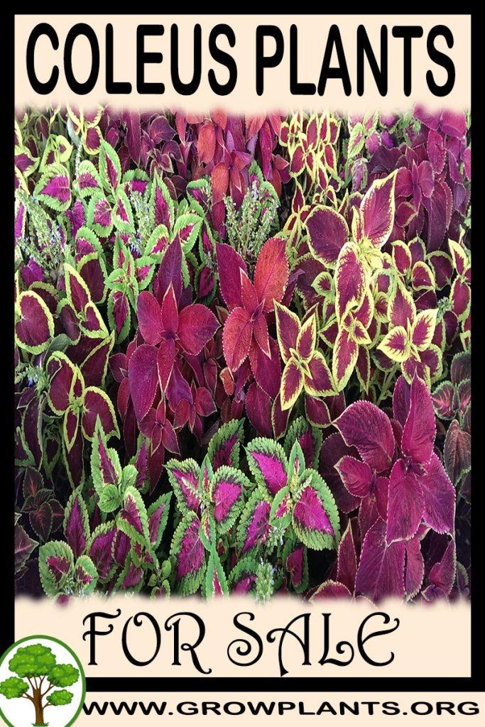 Coleus plants for sale
