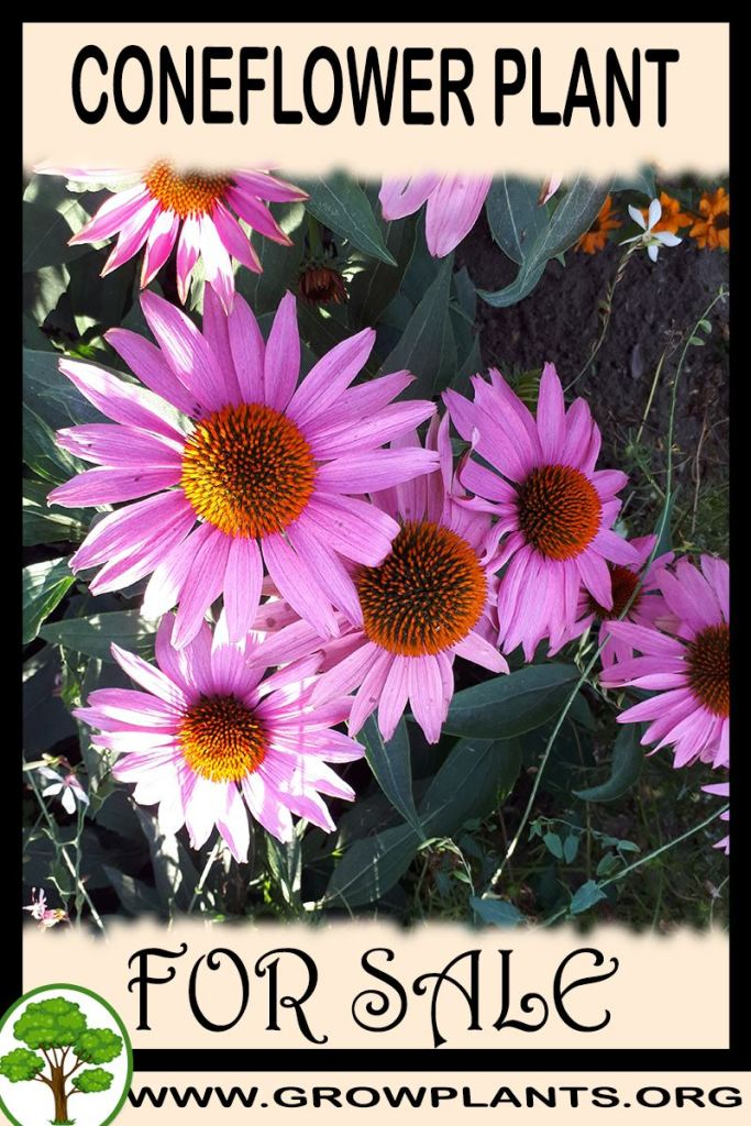 Coneflower for sale
