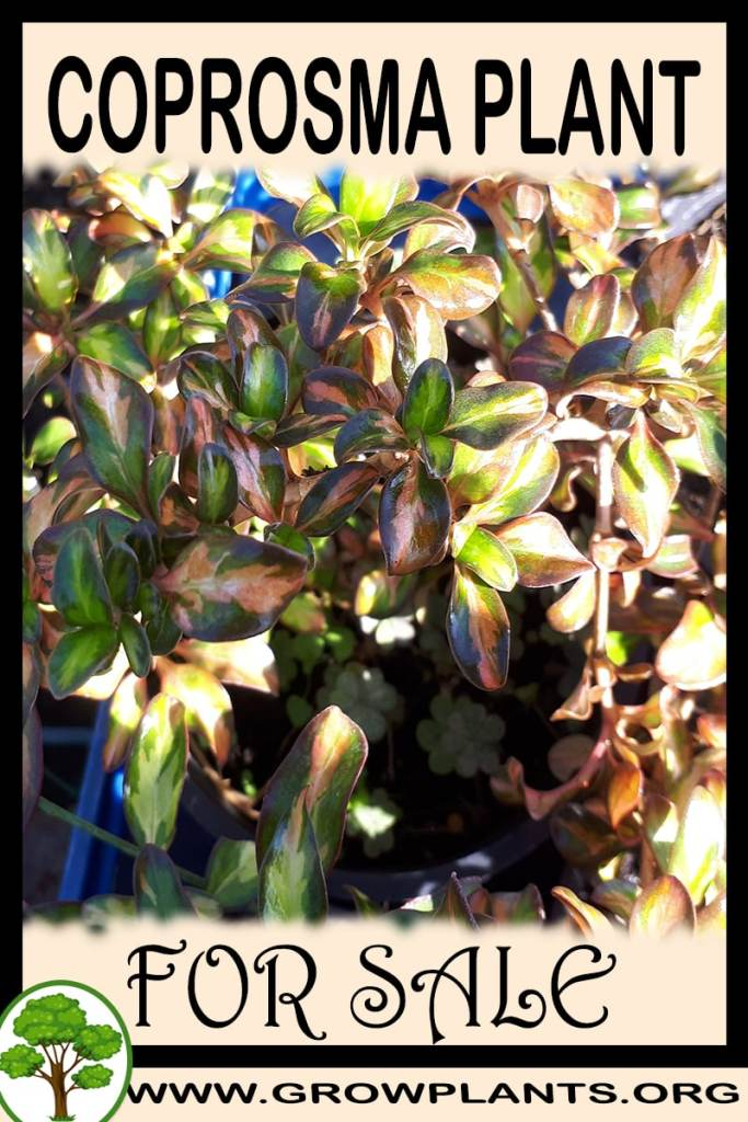 Coprosma for sale