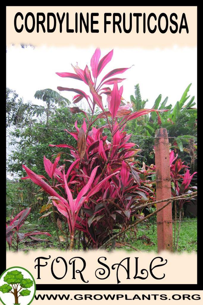 Cordyline fruticosa for sale