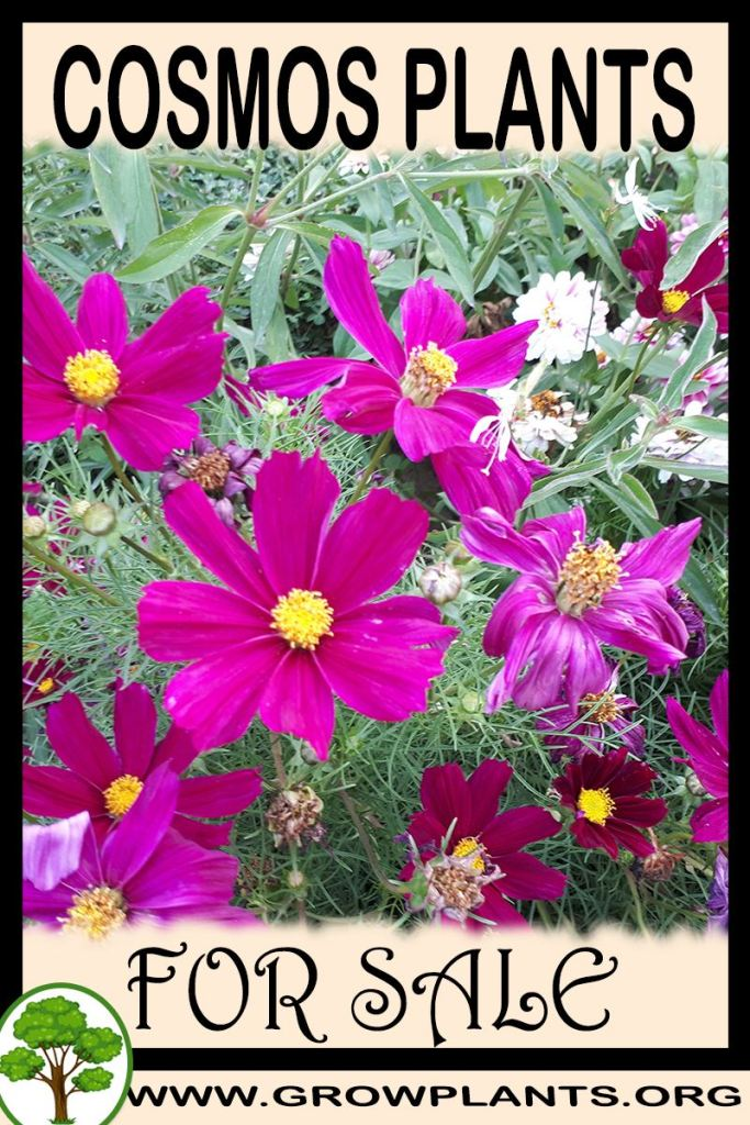 Cosmos plants for sale