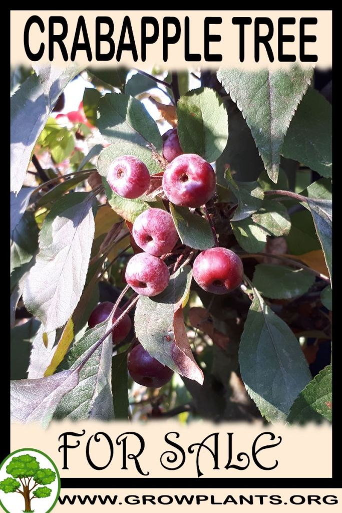 Crabapple tree for sale